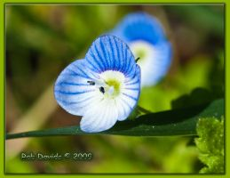 Blue Flower Macro by Mellon-001