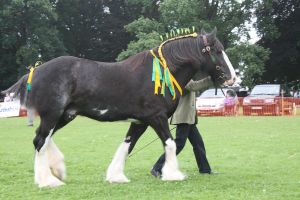 Shire Horse by Jade-Rat