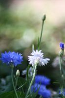 Blue Withe Flowers by Lill-Rain