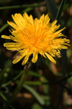 December Dandilion by organicvision