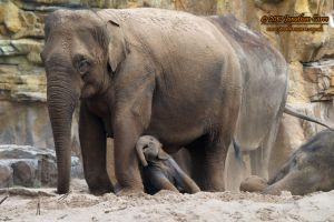 110810 Asian Elephants 3 by InsaneGelfling