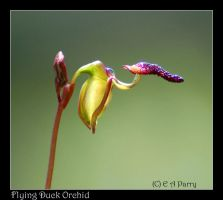 Flying Duck Orchid by AdamsWife