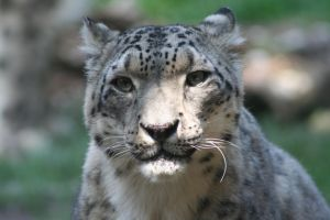 Snow Leopard by OrioNebula