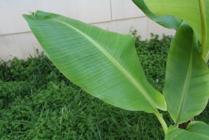 Banana leaf by Nolamom3507