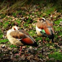 2009 - Egyptian geese by Mechamouche
