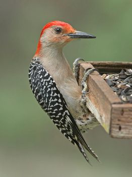 Red-Bellied Woodpecker by Jamie-MacArthur