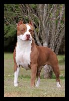 American Pit Bull Terrier 02 by guipatto