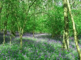 Bluebell Woods by Jasmine-Lily