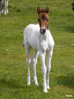 Moorland Foal 4 by The-strawberry-tree