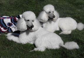 Pretty Pair of Poodles by Photos-By-Michelle
