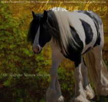 Gypsy Vanner-Montana King by Cameron7494
