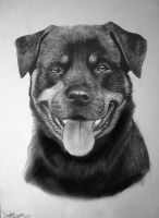 Rottweiler by Magdalena888