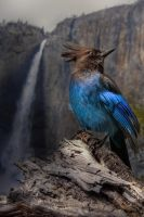 Steller's Jay at Yosemite Falls by AugenStudios