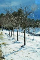 Rows Of Snowy Trees by LDFranklin