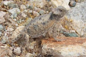 Regal horned lizard by WeirdBugLady