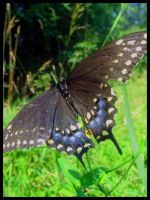 Black Swallowtail by DorianHarper