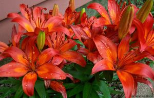 Asiatic lilies by A-Negative-Blood