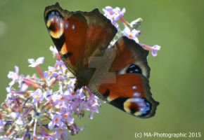 Buterfly on flower by MA-PHOTOGRAPHIC