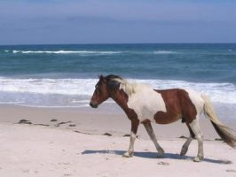 Another Assateague Pony by KenshinHimura28