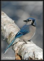 Blue Jay 2 by Ptimac