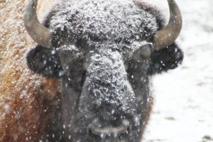 American Buffalo 3 by S-H-Photography