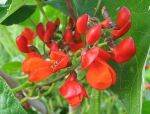 Runner bean flowers by coshipi