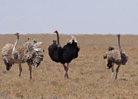 Flirting, Ostrich Style by Track-Maidens