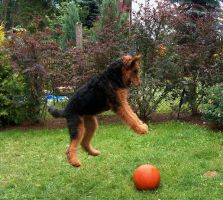 Airedale 10 by AnnLoz