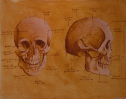 Anatomy study 1 - skull by str4yk1tt3n