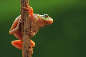 Common tree frog by PauloALopes