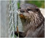 Captive Otter II by andy-j-s