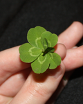 Seven Leaf Clover by missinsaneperson