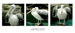 The Pelican by jan2710