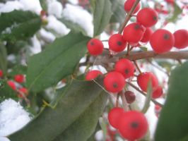 Holly berries with snow by Reyphotos
