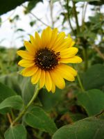 sunflower1 by lampshaded-stock