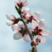 Peach Blossom II by onelook