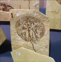 Fossilized Stingray by Undistilled