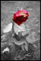 Wilted Rose by khewins-photography