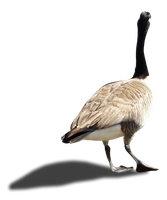 Canada Goose - I - Stock - PNG by Walking-Tall