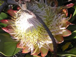 Protea Restricted by jellybush