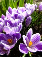 Crocus by Klytia70