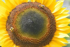 Pollen Station, Bees and Sunflower 16 by Miss-Tbones