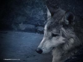 Wolf by IshqAatish