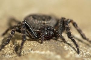 Young Female Walnut Orb Weaver -Nuctenea umbratica by TheFunnySpider