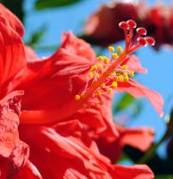 Bright hibiscus by fosspathei