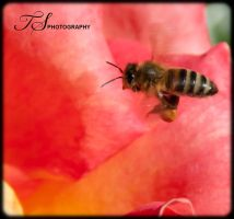 Bee by tspargo-photography