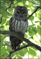 Barred Owl April 2016 by cosmosue
