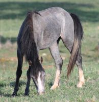 Blue Roan Colt 6 by How-You-Remind-Me