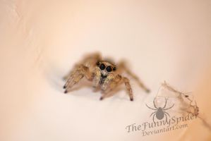 Tiny Visitor - Young Female Salticus scenicus by TheFunnySpider
