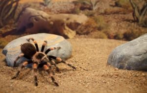 B. smithi by biggoofybastard